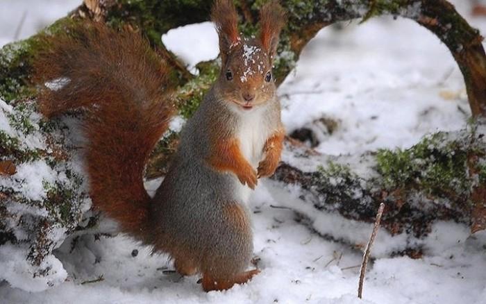20 классных фотографий забавных белочек в снегу. Они такие «мимимишки»!