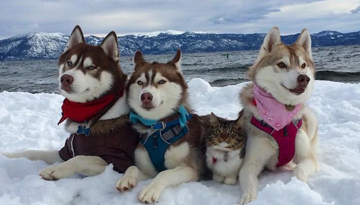Хаски спасли котенка от смерти и стали его лучшими друзьями