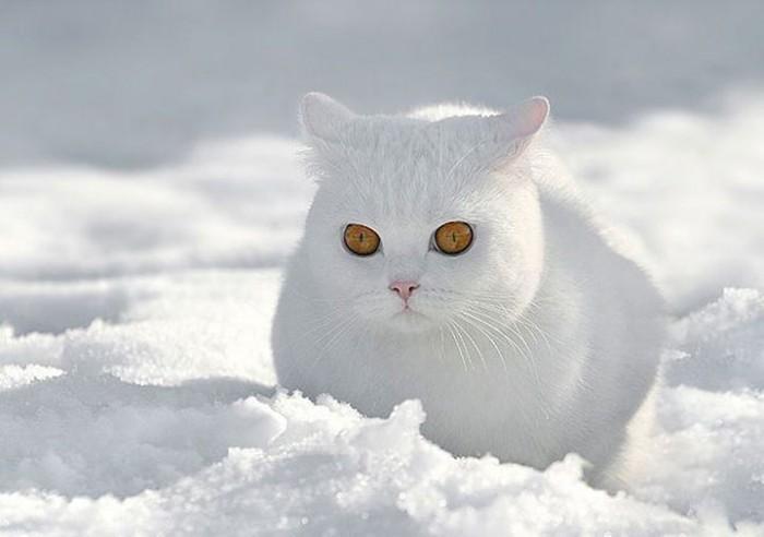 Чудо природы – белый кот на белом снегу