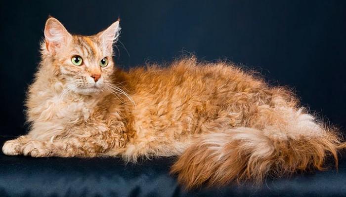 Громко мурлыкающие кучерявые кошки, которые не терпят одиночества