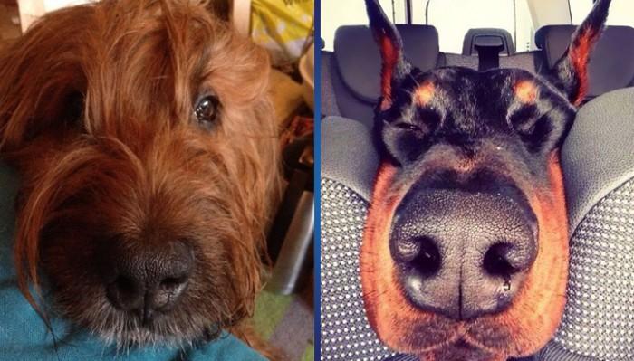 15 очень любопытных собачьих носов в максимальном приближении