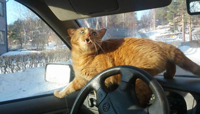 Вот почему, перевозя кошку без переноски, вы подвергаете себя огромной опасности!
