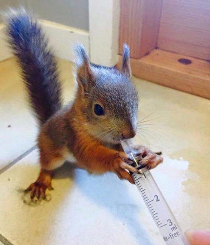 Уникальный случай! В Финляндии раненый бельчонок сам пришел к ветеринару за помощью!