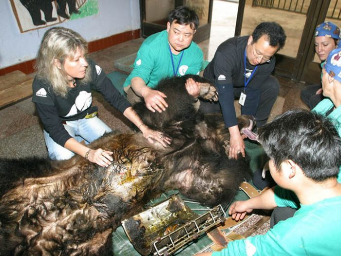 После нескольких лет мучений медведь, наконец, свободен. Люди были в ужасе от того, что им пришлось снять с его тела.