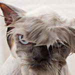 Самый милый кот — мокрый кот! 25 животных до и после купания