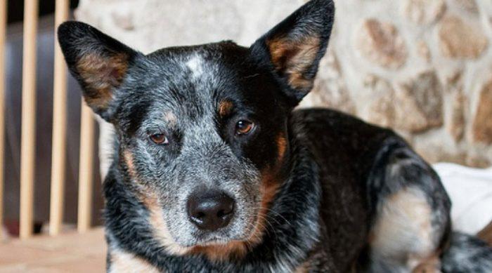 Мужчина оставил собаку прямо под приютом, а она отчаянно бросилась догонять его, рискуя жизнью!