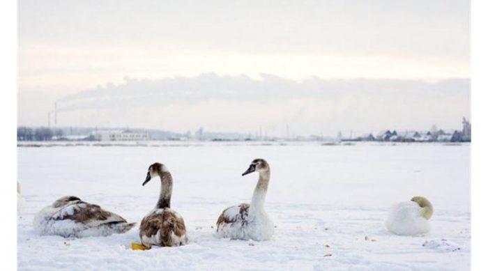 Женщина спасла стаю лебедей, которая замерзала от мороза на пруду. Вот как это случилось