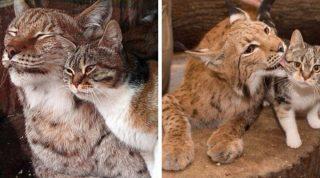 Дикая рысь и обычная кошка выросли вместе и до сих пор неразлучны (8 фото)