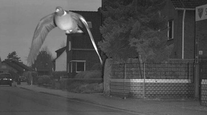 """Летел слишком быстро: власти немецкого города хотят наказать голубя, """"превысившего скорость"""""""