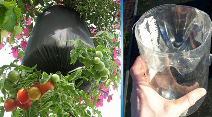 Как вырастить помидоры в… бутылке. Лучший способ для балконов!