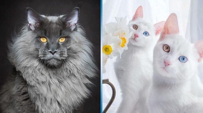 20 самых красивых котов в мире, вы просто обязаны их увидеть.