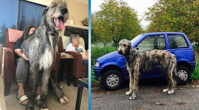 Ирландские волкодавы – собаки гиганты, фото которых вы не видели