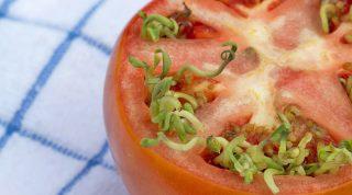 Вивипария: почему помидоры становятся мутантами